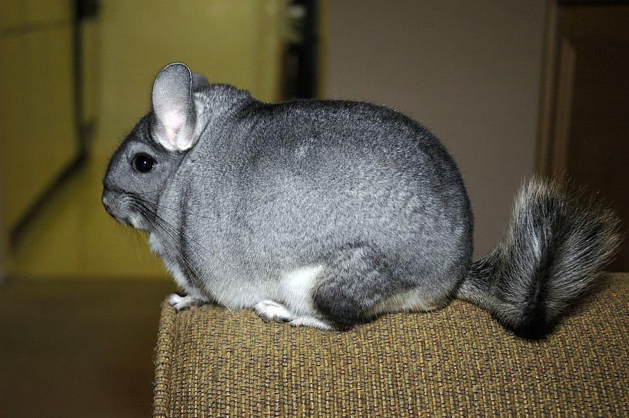 Standard Grey chinchilla