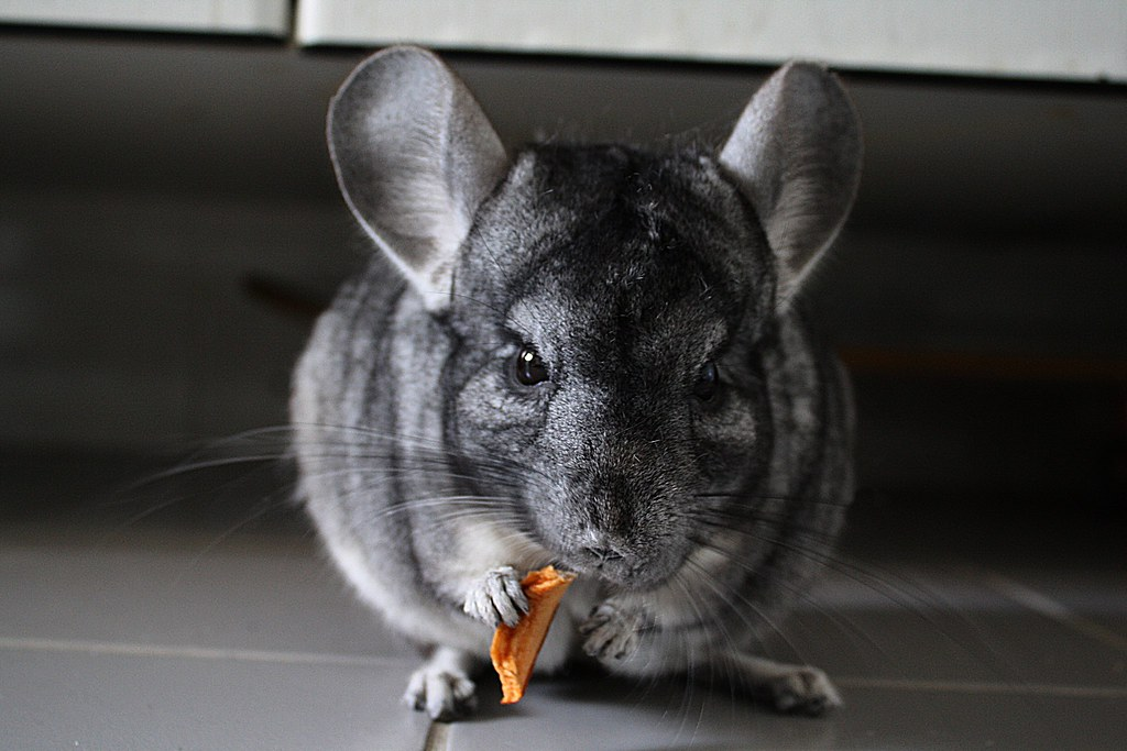 What colors does chinchilla come in
