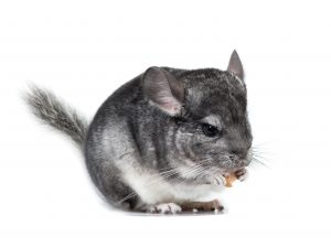 chinchilla eating