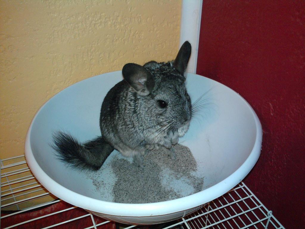 chinchilla taking a dust bath