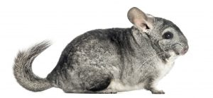 cute gray chinchilla with long tail