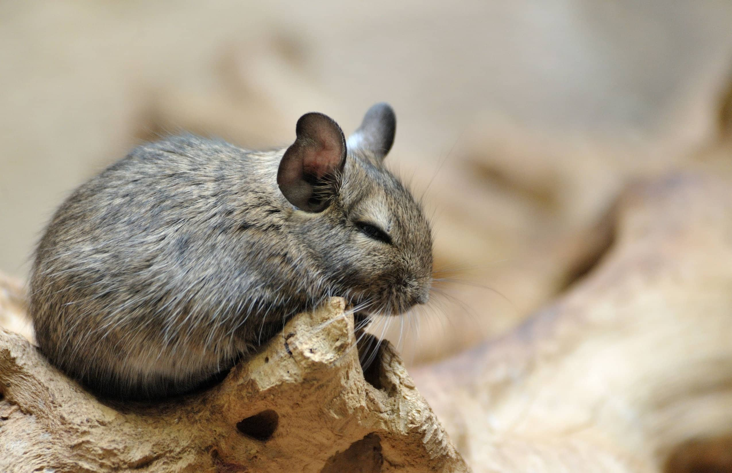 what is a chinchilla